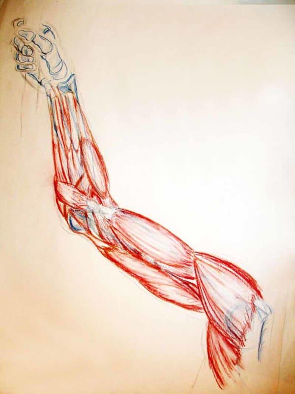 Anatomical Study -Arm