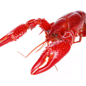 40 lbs. Live Crawfish | QUALITY Grade