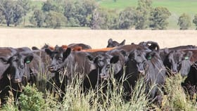 Rural / Farming commercial property for sale at Coonabarabran NSW 2357