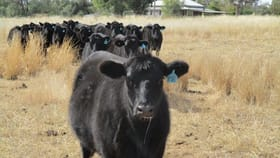 Rural / Farming commercial property for sale at 240 ACRES GRAIN & GRAZING Bell QLD 4408