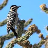 Female - foraging along the dirt road leading into Tres Pistolas Canyon Open Space near Albuquerque - November 2011