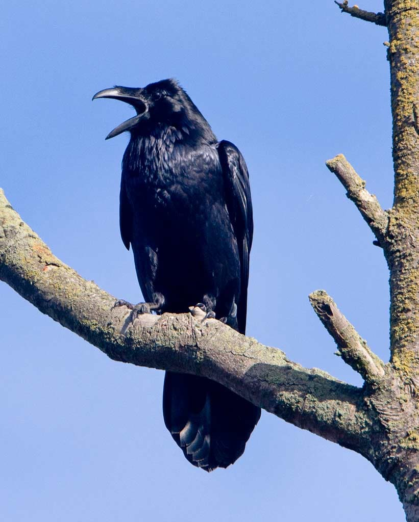 Billedresultat for Common Raven