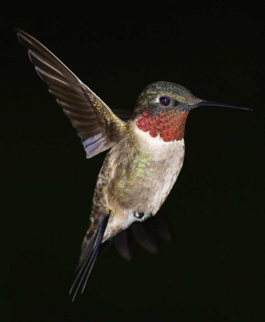 Ruby-throated Hummingbird - eBirdr