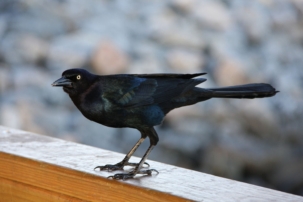 Boat-tailed Grackle - eBirdr  Boat-tailed Gra...