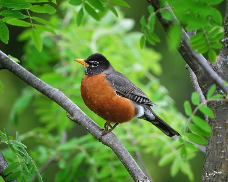 American Robin - eBirdr American Robin Bird