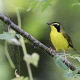 Male Kentucky Warbler