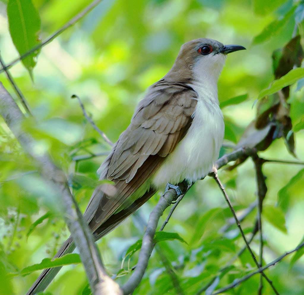 Black Billed Cuckoo Ebirdr