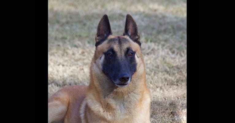 Photo of Dare, a Belgian Shepherd  in Denmark