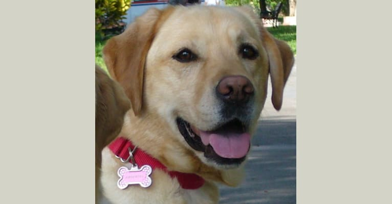 Photo of Amber Dee, a Labrador Retriever  in Wilsonville, OR, USA