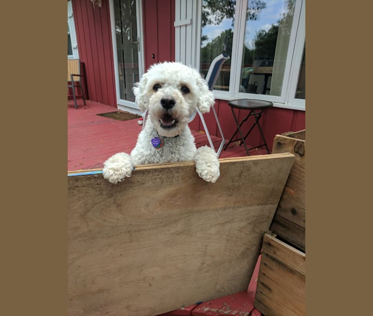 Photo of Dudley, a Labradoodle  in Oak Park, Illinois, USA