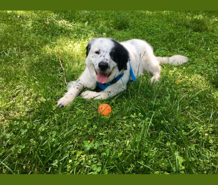 Photo of Milo, a Golden Retriever, Great Pyrenees, Australian Cattle Dog, Australian Shepherd, and Mixed mix in Burke, Virginia, USA