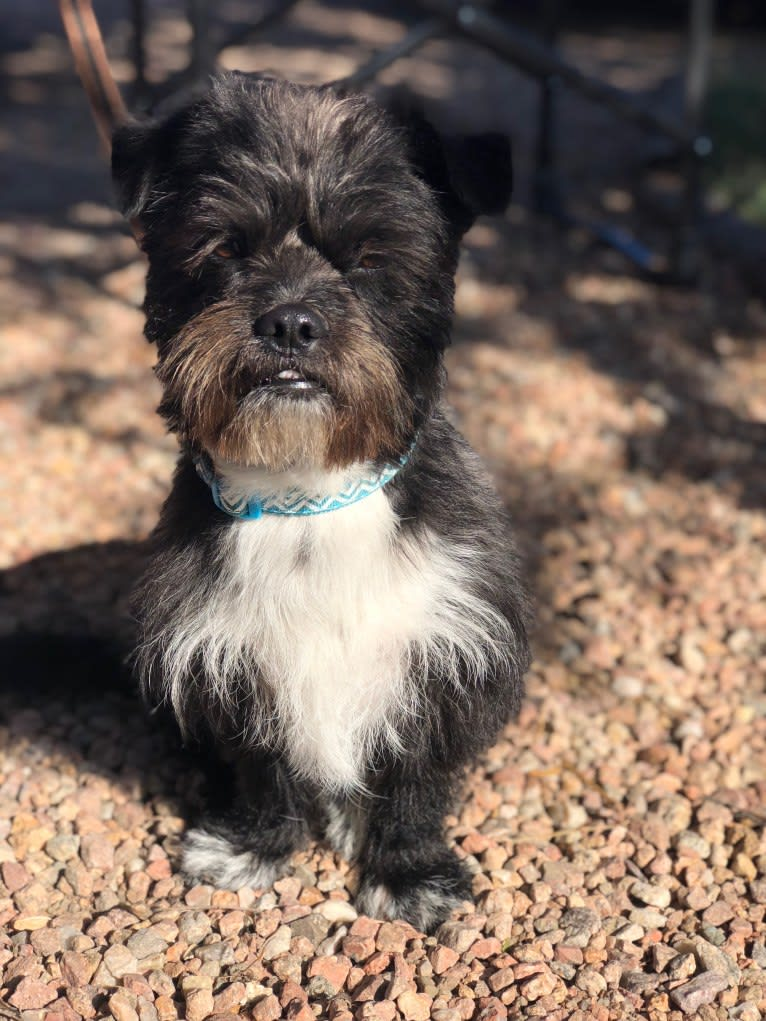 Photo of Tux, a Shih Tzu, Chihuahua, and Pekingese mix in Pueblo, Colorado, USA