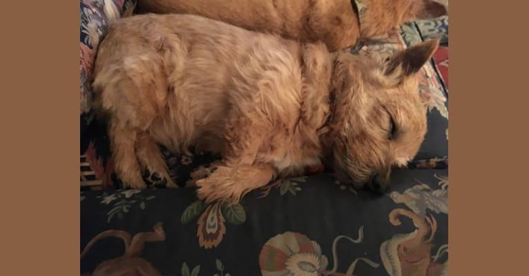 Photo of Butty, a Norwich Terrier  in Atlanta, GA, USA