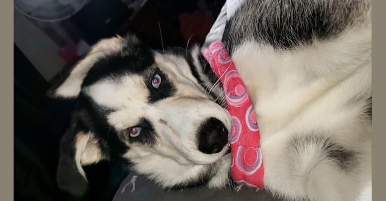 Photo of Ora Skylah Gray, a Siberian Husky, Cocker Spaniel, and Mixed mix in Cobalt, Ontario, Canada