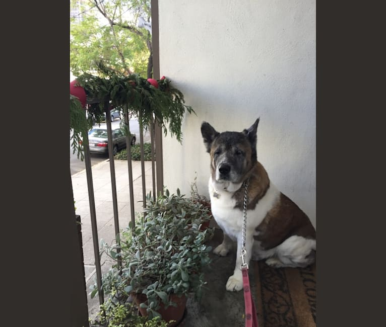 Photo of Mishka, an Akita  in Los Angeles, California, USA