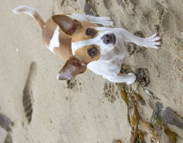 Photo of John Snow, a Chihuahua, American Pit Bull Terrier, Pug, and Mixed mix in Redondo Beach, California, USA