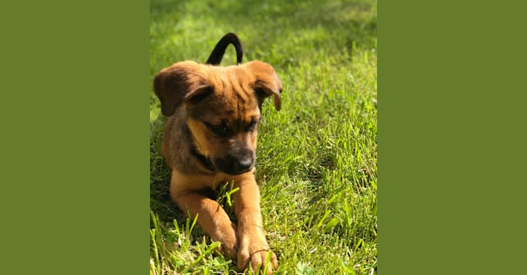 Photo of Mocha Chino, a Rottweiler, German Shepherd Dog, American Pit Bull Terrier, and Mixed mix in Bakersfield, California, USA