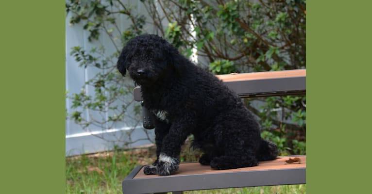 Photo of Pecan Place Johnny Weismueler, a Puli