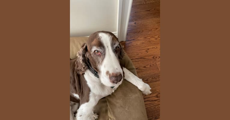 Photo of Rusty, an English Springer Spaniel  in Southington, Connecticut, USA