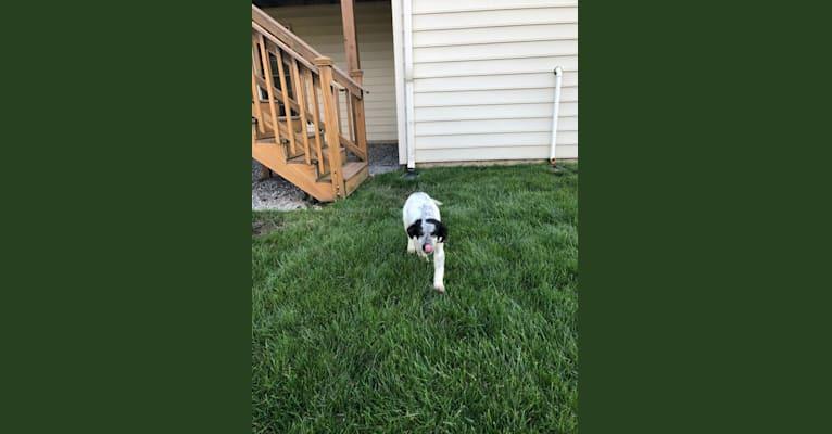 Photo of Cooper T Wegl, a German Shepherd Dog, Australian Cattle Dog, American Pit Bull Terrier, Miniature/MAS-type Australian Shepherd, and Mixed mix in Mississippi, USA