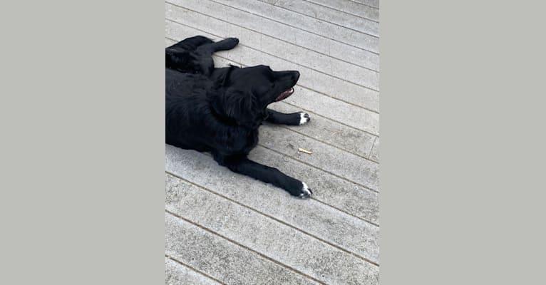 Photo of Care Bear Ross, a Labrador Retriever, Australian Cattle Dog, Golden Retriever, and Mixed mix in New Hampshire, USA