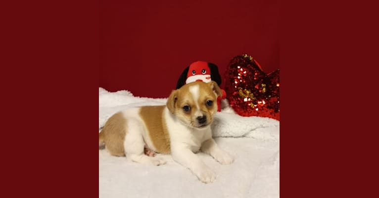 Photo of Chuck, a Chihuahua, Russell-type Terrier, and Mixed mix in Clio MI USA