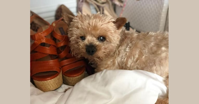 Photo of Teddy Bear, a Yorkshire Terrier  in Iowa, USA