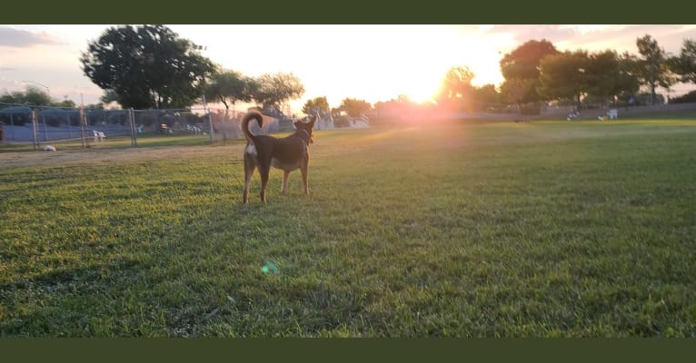 Photo of Pippa, a Siberian Husky and Doberman Pinscher mix in Mesa, Arizona, USA