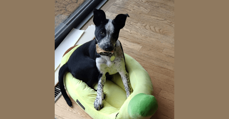 Photo of Athena, a Border Collie, Australian Cattle Dog, and Catahoula Leopard Dog mix in Longmont, Colorado, USA
