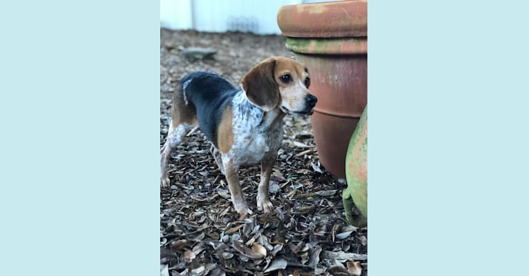 Photo of Lexie, a Beagle  in Jesup, Georgia, USA