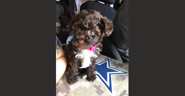 Photo of Lacie, a Poodle (Small)  in 1810 Will Lewis Rd, Pearson, GA, USA
