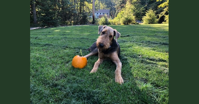 Photo of Mickey, an Airedale Terrier  in Indiana, USA
