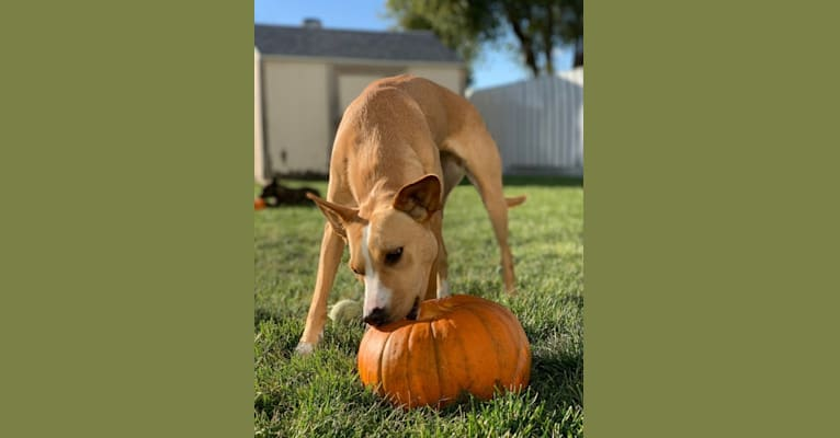Photo of Kaia Marie, an American Pit Bull Terrier, Chow Chow, Australian Cattle Dog, and Mixed mix in Utah, USA