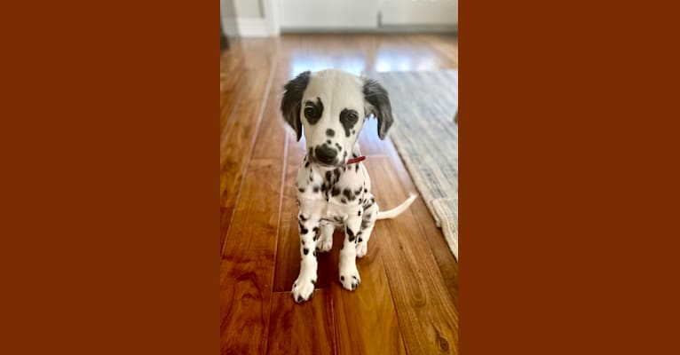 Photo of Indie, a Dalmatian  in Wisconsin, USA