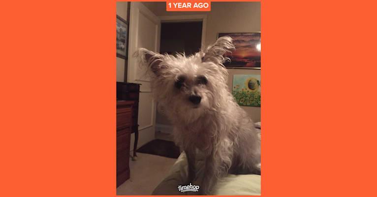 Photo of Smokey, a Rat Terrier, Chihuahua, Poodle (Small), and Miniature Schnauzer mix in Oklahoma City, Oklahoma, USA