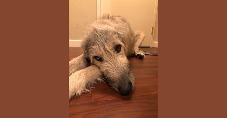 Photo of Mannix, an Irish Wolfhound  in California, USA