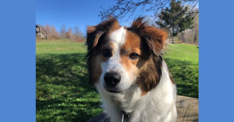 Photo of Cooper, an Australian Cattle Dog, Shih Tzu, Beagle, Akita, Shetland Sheepdog, and Mixed mix in Bethel, Vermont, USA