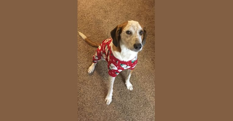 Photo of Shotgun, a Treeing Walker Coonhound, Australian Cattle Dog, and Mixed mix in Circleville, West Virginia, USA