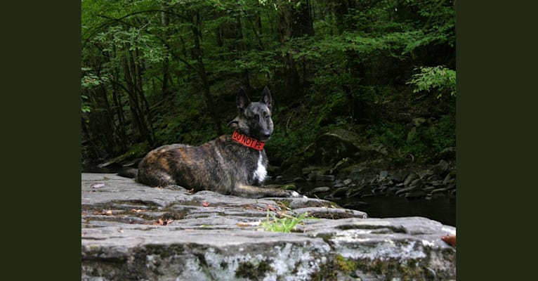 Photo of Wa-Yah!, a Dutch Shepherd  in Louisville, Tennessee, USA