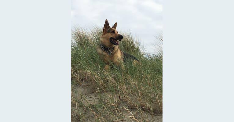 Photo of Hugs, a German Shepherd Dog  in Velp, Gelderland, Nederland