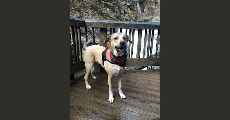 Photo of Maisey, a Great Pyrenees, Labrador Retriever, and American Pit Bull Terrier mix in Williamston, South Carolina, USA