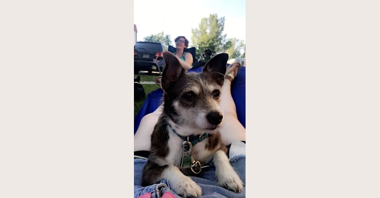 Photo of Tula, a Chihuahua, American Pit Bull Terrier, and Yorkshire Terrier mix in Laramie, Wyoming, USA