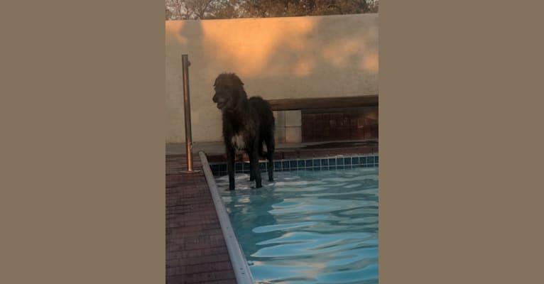Photo of Medb, an Irish Wolfhound  in California, USA