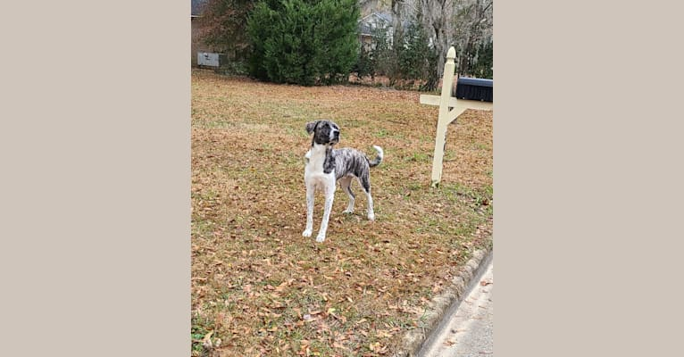 Photo of Oliver, a Great Pyrenees and American Pit Bull Terrier mix in Fayetteville, GA, USA