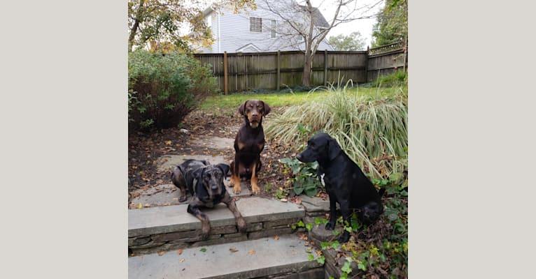 Photo of Sassy, a Catahoula Leopard Dog, Labrador Retriever, and Beagle mix in Louisiana, USA