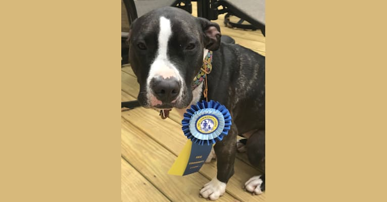 Photo of Dory Abigail, an American Pit Bull Terrier  in Connecticut, USA