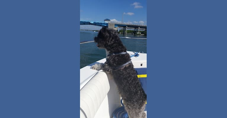 Photo of Sharky, a Bichon Frise and Scottish Terrier mix in Apollo Beach, Florida, USA