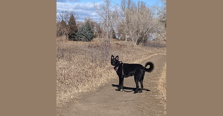 Photo of Kodiak, a German Shepherd Dog, Great Pyrenees, and Mixed mix in Fort Collins, Colorado, USA