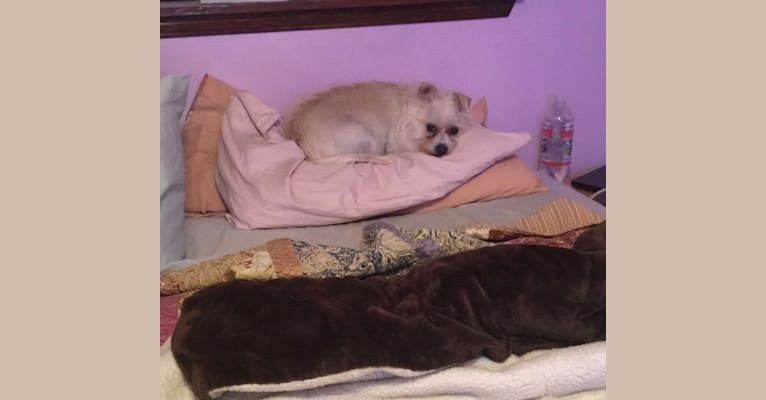 Photo of Ollie, a Chihuahua, Poodle (Small), and Mixed mix in Gonzales, Louisiana, USA