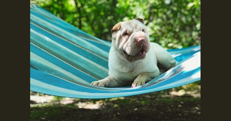 Photo of Oleander's lily of the valley, a Chinese Shar-Pei  in Antigo, WI, USA